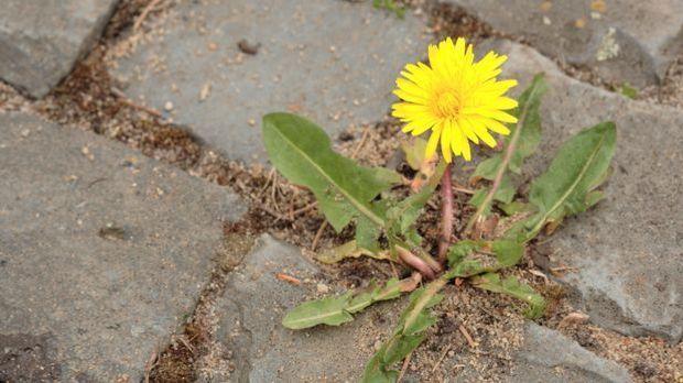 Gartengestaltung_2016_03_29_Unkraut vernichten_Schmuckbild_fotolia_jokapix
