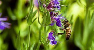 Bienen tun sich gern an dem Nektar des Ysop gütlich. Für einen Naturgarten is...