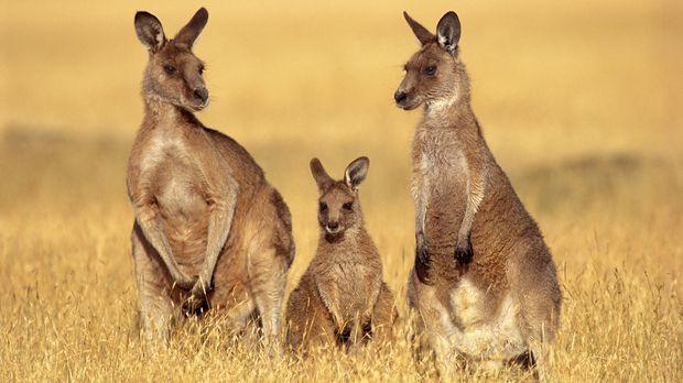 Kein anderes Tier symbolisiert Australien wie das Känguru. Doch eines von ihn...