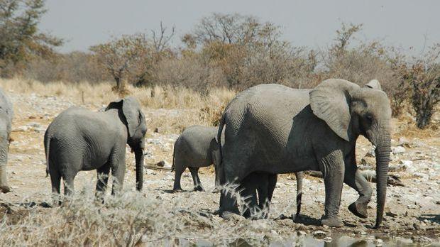 Elefanten - Wikimedia: Patrick Giraud
