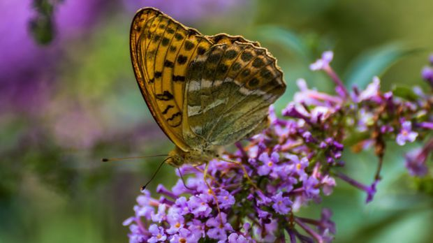 Flieder-Schmetterling-pixabay