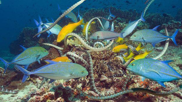 Das Korallenriff in Indonesien ist die Heimat von unglaublichen Tieren: Vom Z...