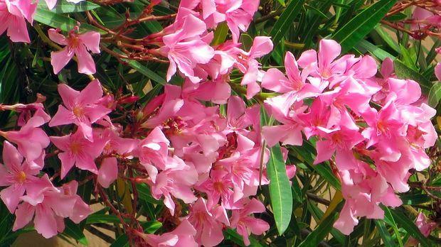 oleander schneiden berwintern und vermehren sat 1 ratgeber. Black Bedroom Furniture Sets. Home Design Ideas