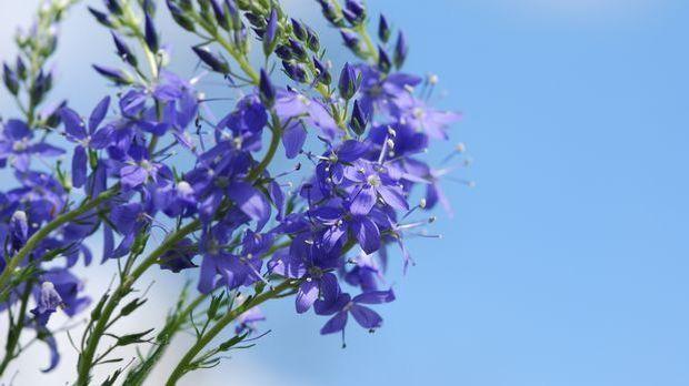 Ysop gilt nicht nur als altbekanntes Heilkraut. Mit seinen lila Blüten ist es...