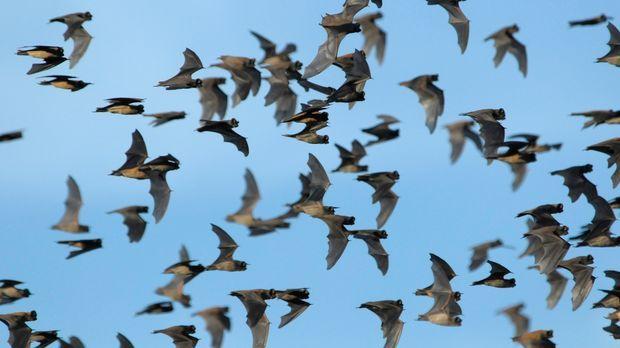 Superswarm - Ein ganzer Schwarm von Fledermäusen ... © Philip Dalton John Dow...