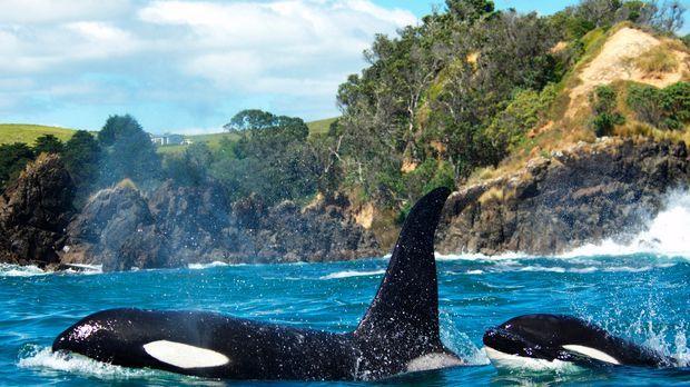 Verrückt nach Orcas - Ingrid Visser kommt dem Geheimnis näher, warum die Popu...