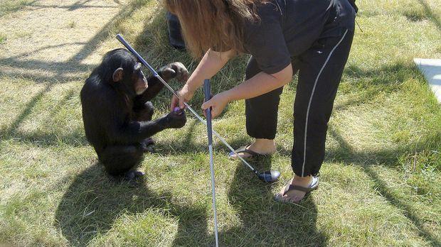Während schon mehrere Menschen durch einen Schimpansen-Angriff schwer verletz...