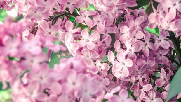 Flieder rosé_Pixabay.com