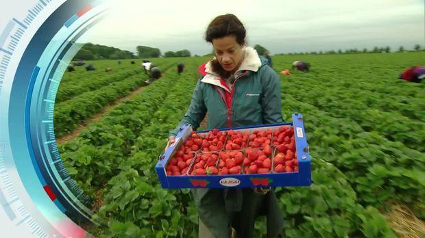Erdbeeren bis zum Horizont